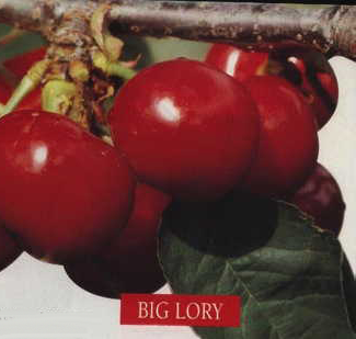 BIG LORY® 1787 NV